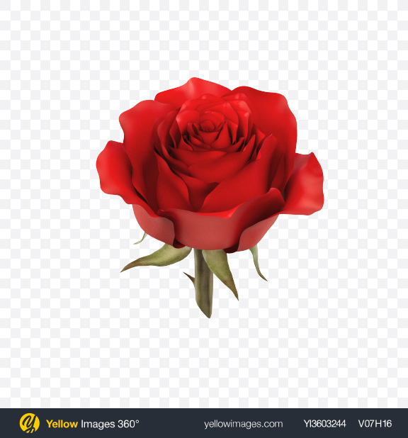 Download Red Rose Flower Transparent PNG on Yellow Images 360°