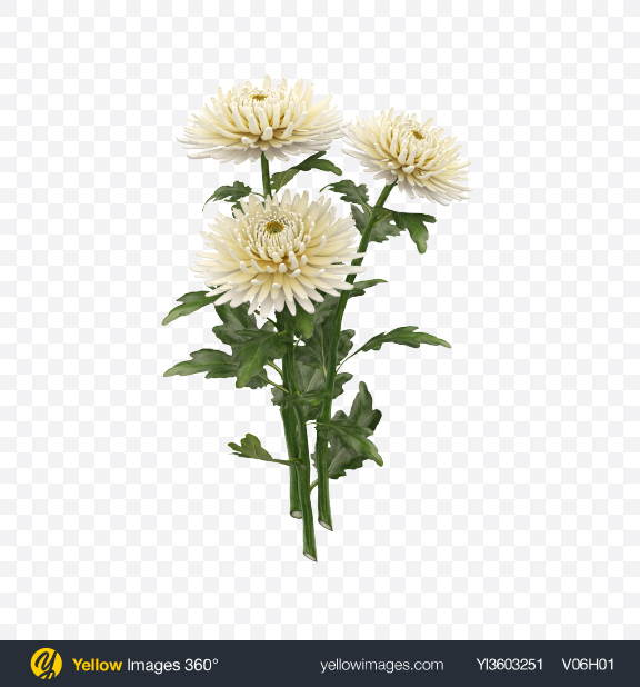 Download Chrysanthemum Bouquet Transparent PNG on Yellow Images 360°