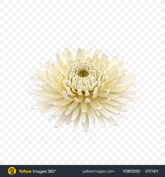 Download Chrysanthemum Flower Transparent PNG on Yellow Images 360°