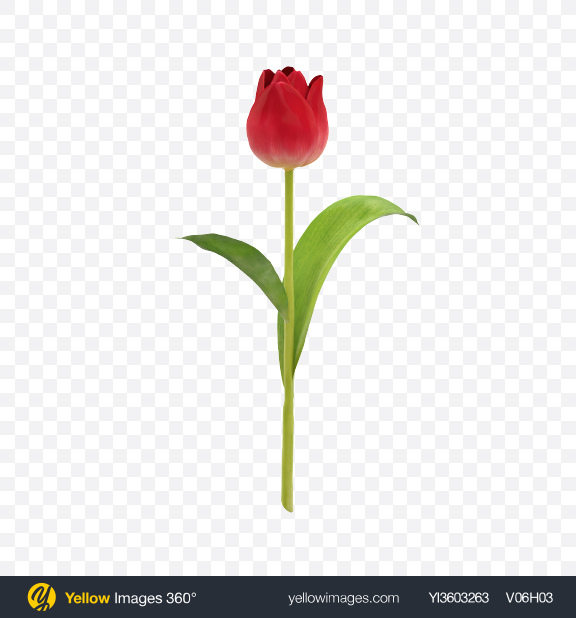 Download Red Tulip on Stem Transparent PNG on Yellow Images 360°