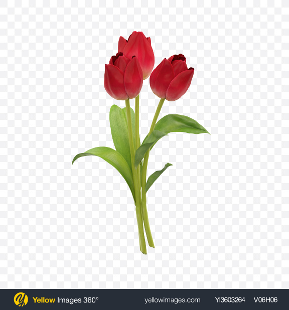 Download Red Tulip Bouquet Transparent PNG on Yellow Images 360°