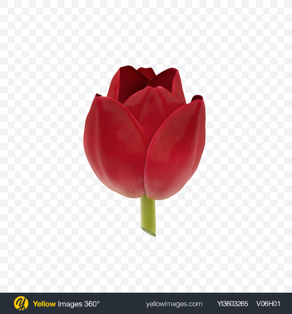 Download Red Tulip Flower Transparent PNG on Yellow Images 360°
