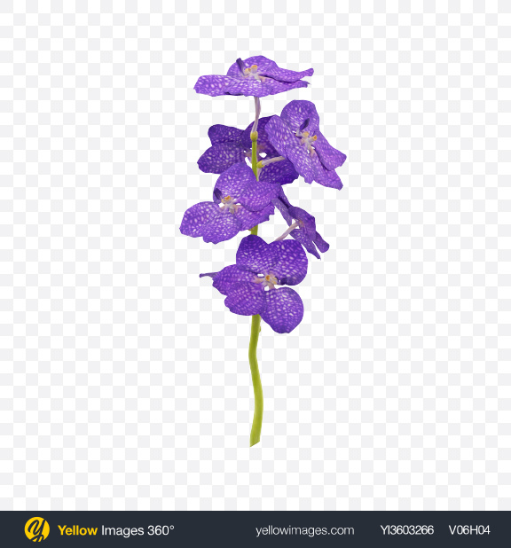 Download Vanda Orchid on Stem Transparent PNG on Yellow Images 360°