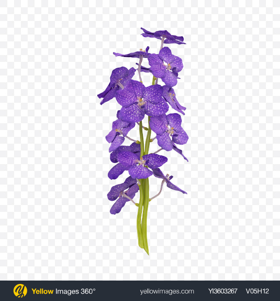 Download Vanda Orchid Bouquet Transparent PNG on Yellow Images 360°
