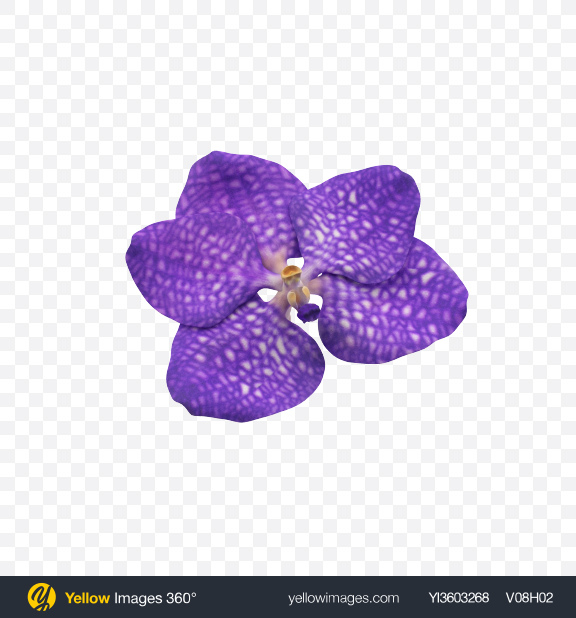 Download Vanda Orchid Flower Transparent PNG on Yellow Images 360°