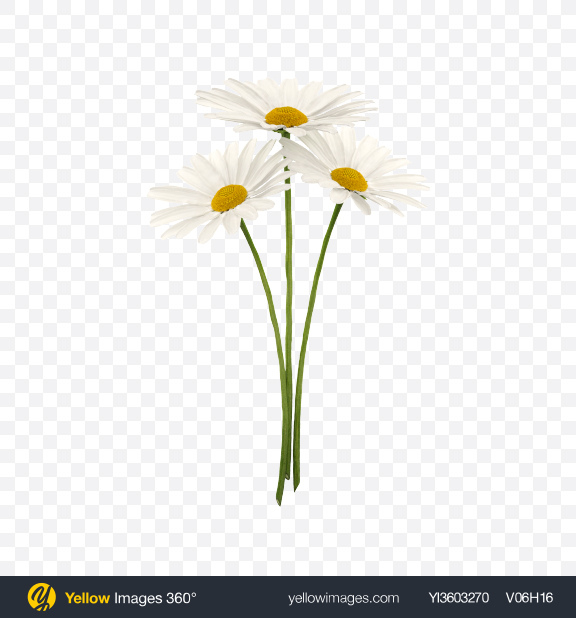 Download Chamomile Bouquet Transparent PNG on Yellow Images 360°