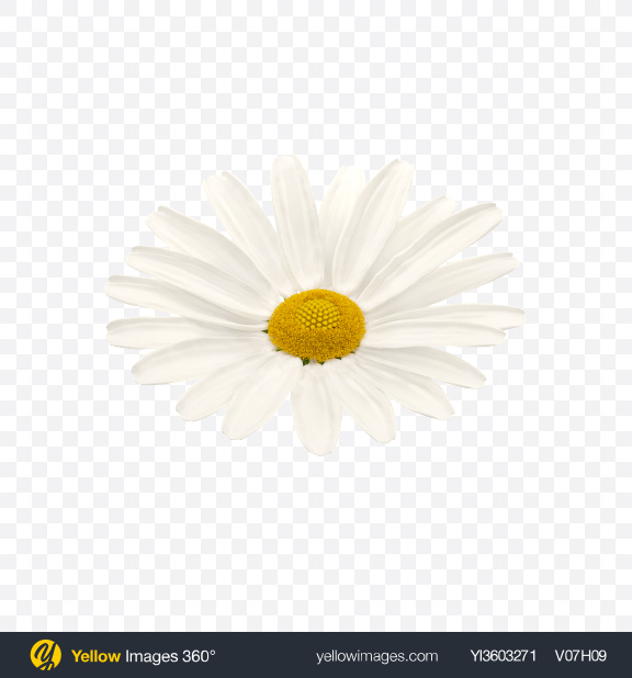 Download Chamomile Flower Transparent PNG on Yellow Images 360°