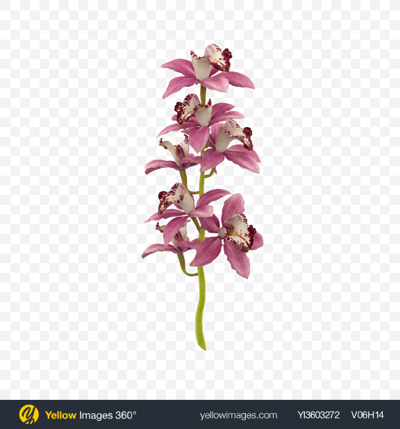 Download Cymbidium Orchid on Stem Transparent PNG on Yellow Images 360°