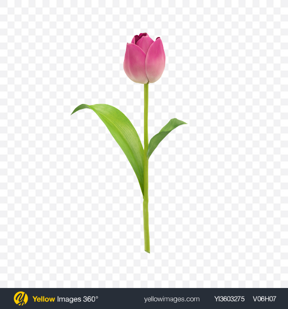 Download Pink Tulip on Stem Transparent PNG on Yellow Images 360°