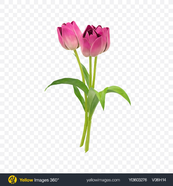 Download Pink Tulip Bouquet Transparent PNG on Yellow Images 360°