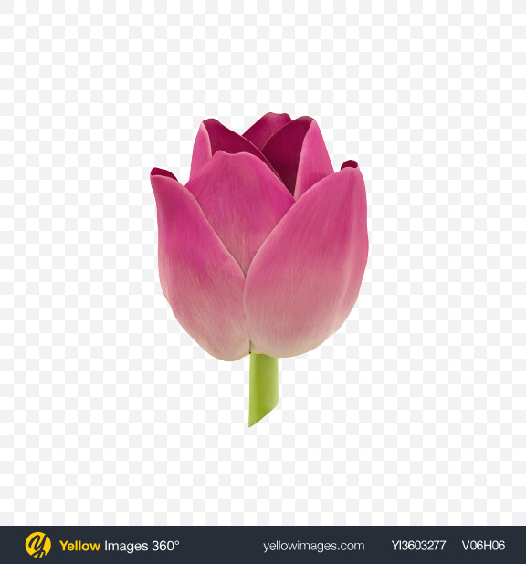 Download Pink Tulip Flower Transparent PNG on Yellow Images 360°