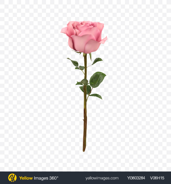 Download Pink Rose Branch Transparent PNG on Yellow Images 360°