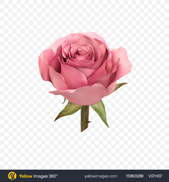 Download Pink Rose Flower Transparent PNG on Yellow Images 360°