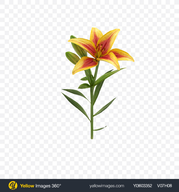 Download Lily Branch Transparent PNG on Yellow Images 360°