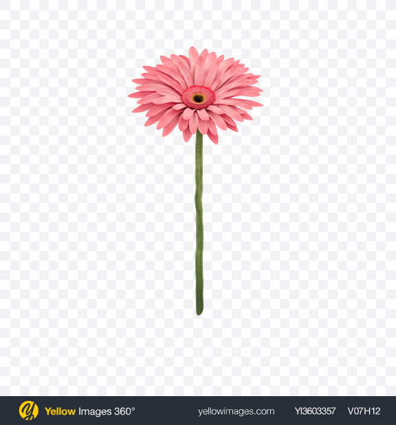 Download Pink Gerbera on Stem Transparent PNG on Yellow Images 360°