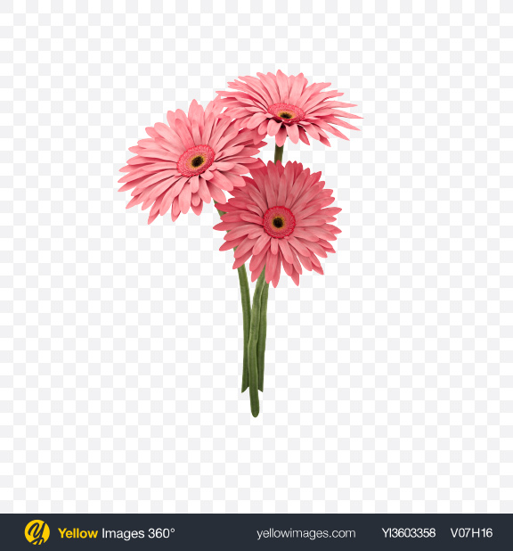 Download Pink Gerbera Bouquet Transparent PNG on Yellow Images 360°