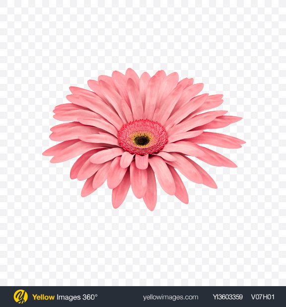 Download Pink Gerbera Flower Transparent PNG on Yellow Images 360°