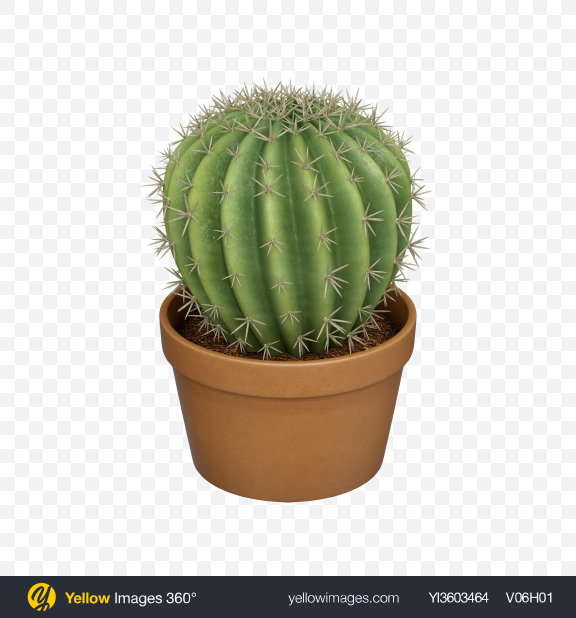 Download Pot with Cactus Plant Transparent PNG on Yellow Images 360°