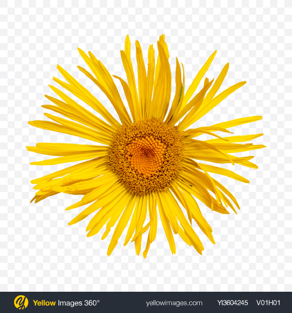 Download Yellow Daisy Flower Transparent PNG on YELLOW Images