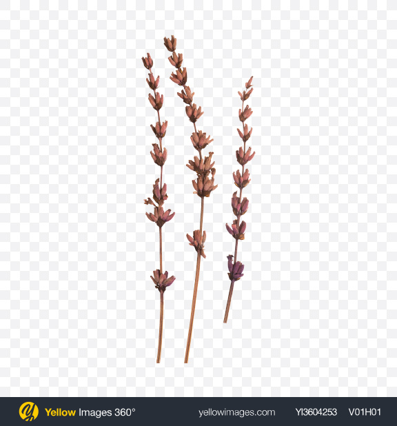 Download Lavender Branches Transparent PNG on YELLOW Images