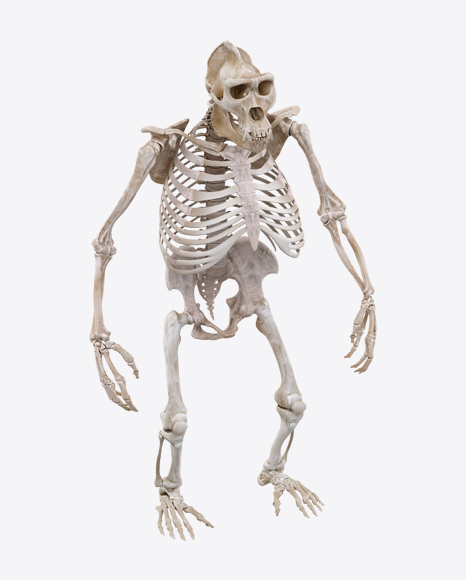 Gorilla Skeleton