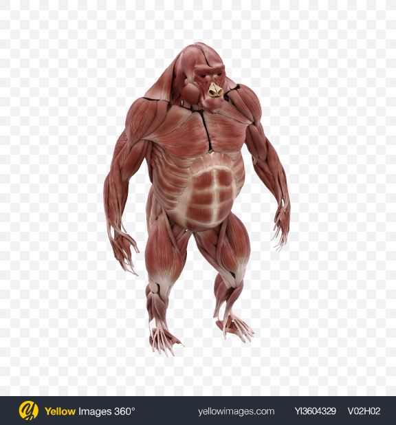 Download Gorilla Muscles Transparent PNG on Yellow Images 360°