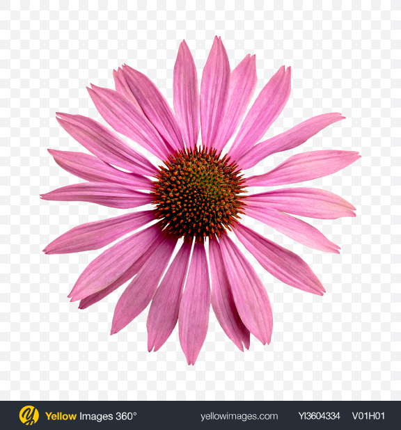 Download Pink Daisy Flower Transparent PNG on YELLOW Images