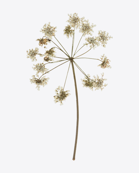 Dried Cow Parsley Branch