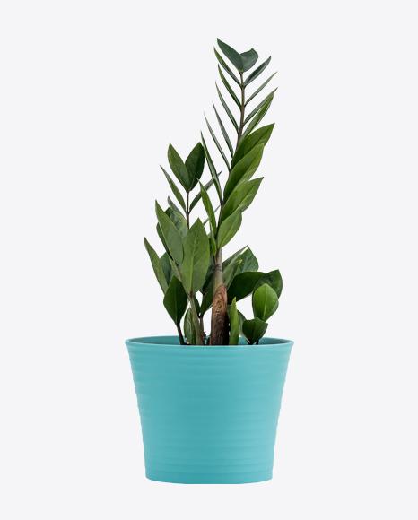 Zamioculcas in Green Pot