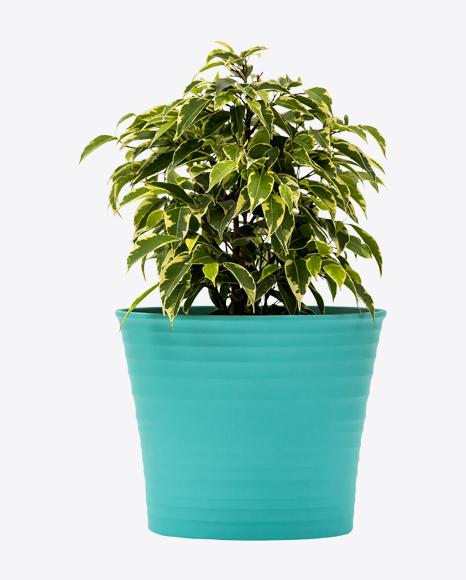 Ficus Kinky in Green Pot