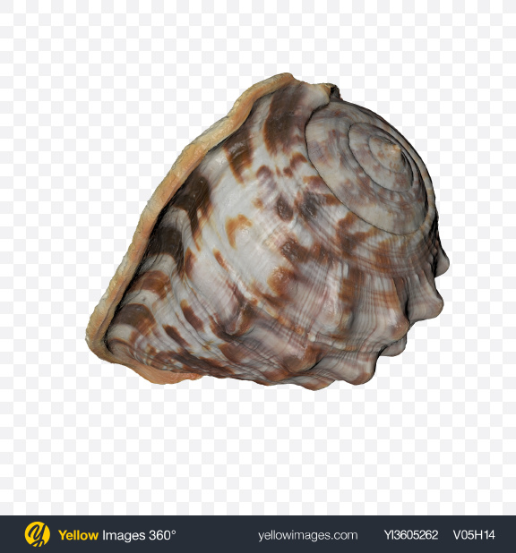 Download Sea Shell Transparent PNG on Yellow Images 360°