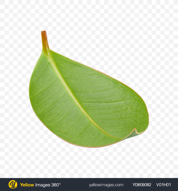 Download Mango Leaf Transparent PNG on YELLOW Images