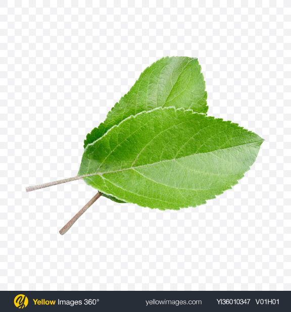 Download Green Leaf Transparent PNG on YELLOW Images