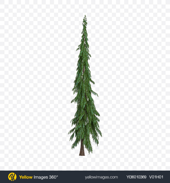 Download Spruce Transparent PNG on YELLOW Images