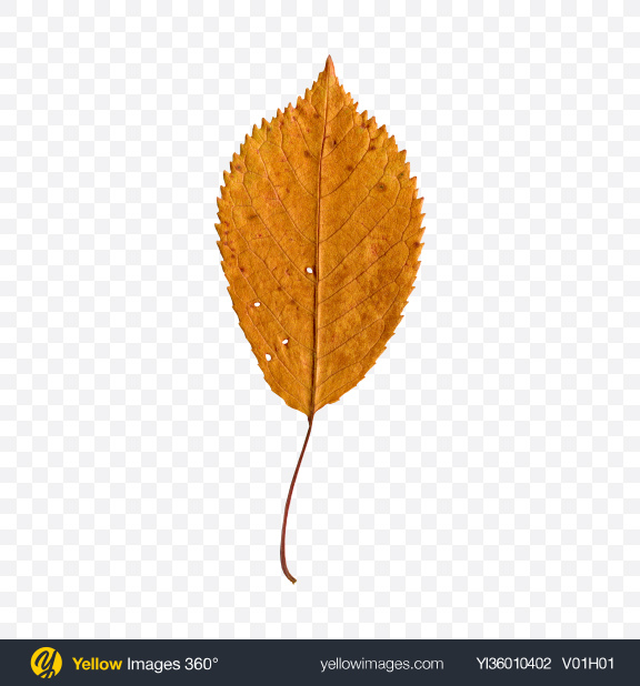 Download Dried Tree Leaf Transparent PNG on YELLOW Images
