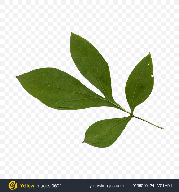 Download Green Tree Leaf Transparent PNG on YELLOW Images
