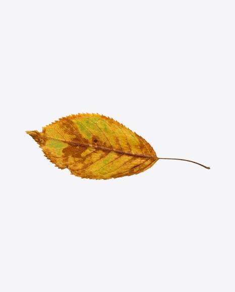 Dried Tree Leaf