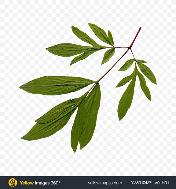 Download Green Tree Branch Transparent PNG on YELLOW Images