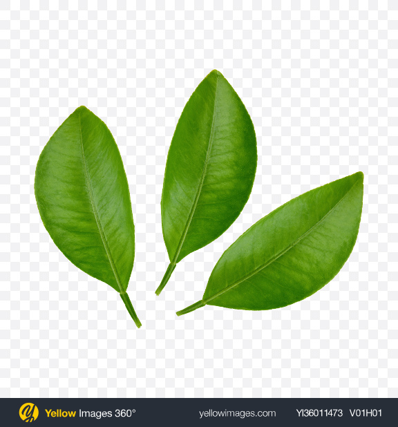 Download Mango Leaves Transparent PNG on YELLOW Images