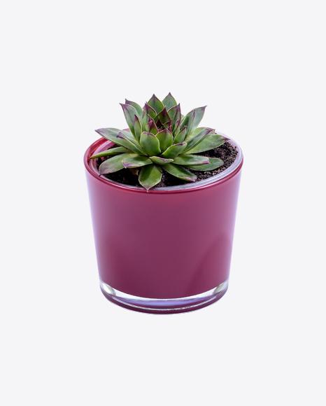 Haworthia Succulent Plants in Pot