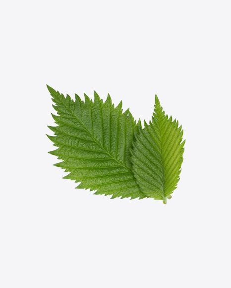 Hazelnut Tree Leaves