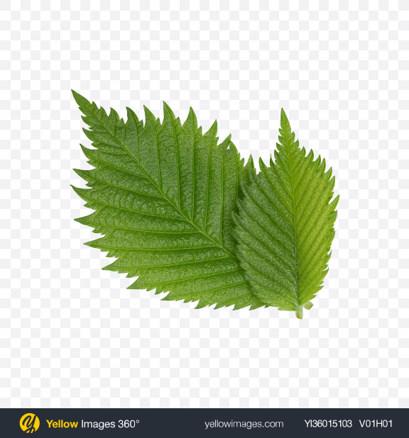 Download Hazelnut Tree Leaves Transparent PNG on YELLOW Images