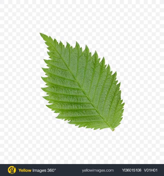 Download Hazelnut Tree Leaf Transparent PNG on YELLOW Images