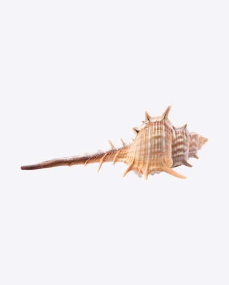 Thorn Conch Seashell