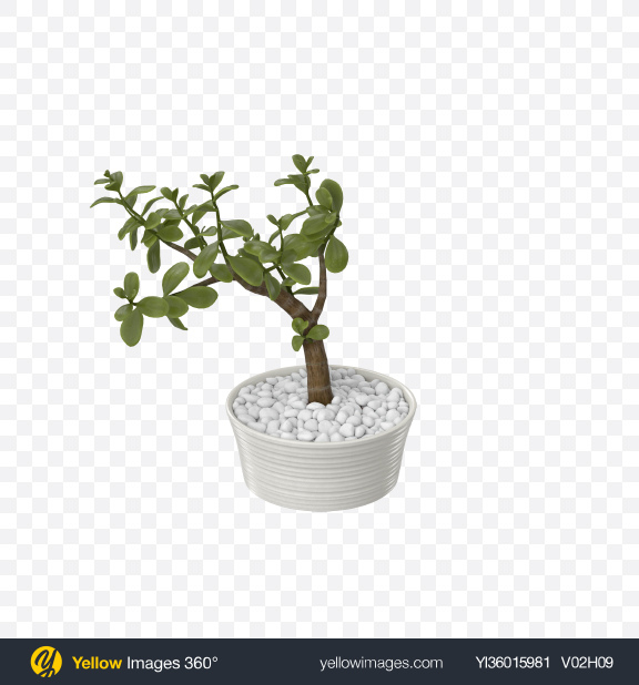 Download Crassula in Pot Transparent PNG on YELLOW Images