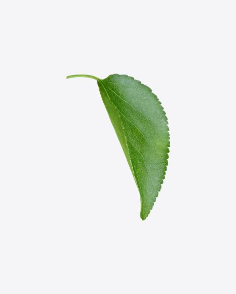 Apple Tree Leaf