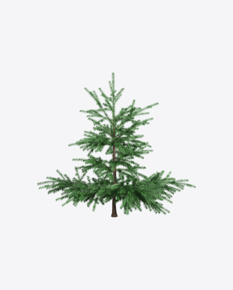 Young Spruce Tree