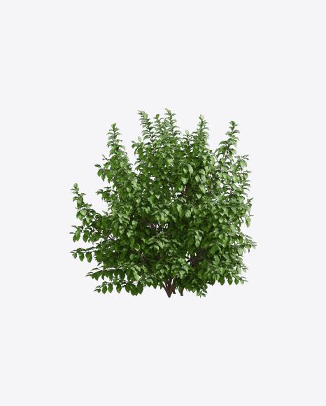 Parrotia Tree