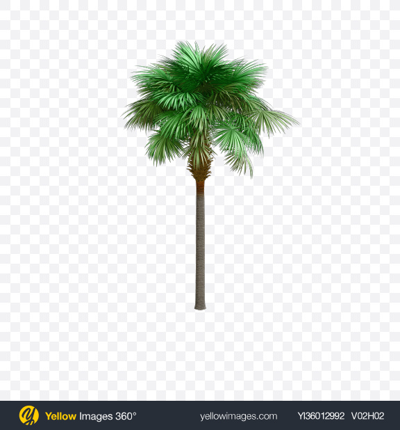 Download Sabal Palm Tree Transparent PNG on YELLOW Images