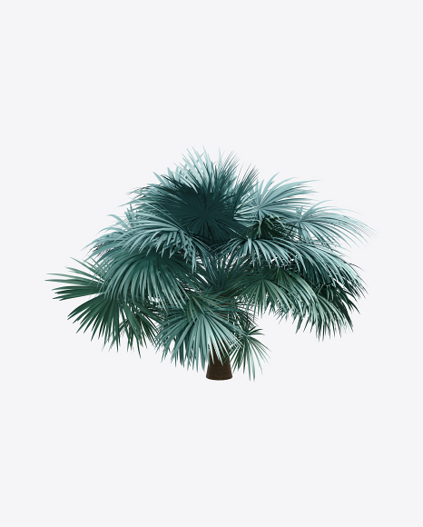 Silver Fan Palm Tree